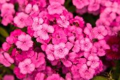 Turkish carnation pink flowers Royalty Free Stock Photos