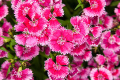 Turkish carnation pink flowers Stock Photography