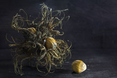 Turkish hazelnut, bristle fruit cluster and nuts on dark rustic Stock Images