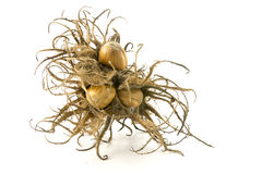 Turkish hazelnut, bristly fruit cluster and nuts, closeup  isola Stock Photography