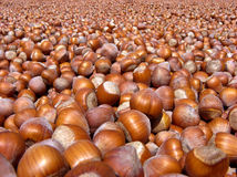 Turkish Hazelnuts. Enourmous pile of Turkish hazelnut kernels in a sunny day Royalty Free Stock Image