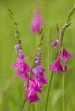 Turkish Marsh Gladiolus - Gladiolus imbricatus Stock Photography