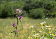 Turkish meadow Royalty Free Stock Images