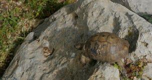Tortoise walking on the rocks. Turkish tortoise walking on the rocks in the forest stock video footage