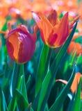 Turkish tulips Royalty Free Stock Image
