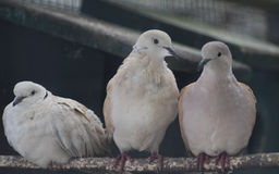 Turkish Turtle doves. Turkish turtle dove sitting on a branch in a enclosure Stock Images