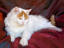 Turkish Van cat. Adult Turkish Van cat on shiny background fabric Royalty Free Stock Images