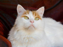 Turkish van cat. Turkish van adult cat close up of face royalty free stock photos