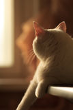 Turkish Van Cat enjoying the sunset. Soft and relaxed white Turkish Van Cat lying on the table and enjoying warm sunset light stock photos
