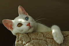 Turkish Van cat. The Turkish Van is nicknamed the `swimming cat` for his love of water. This is a smart, active, loving cat with a silky, medium-length coat that Stock Image