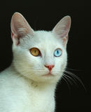 Turkish Van cat Stock Photography