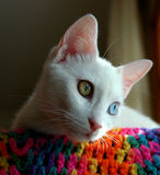 Turkish Van cat. The Turkish Van is nicknamed the `swimming cat` for his love of water. This is a smart, active, loving cat with a silky, medium-length coat that Stock Photo