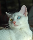 Turkish Van cat. The Turkish Van is nicknamed the `swimming cat` for his love of water. This is a smart, active, loving cat with a silky, medium-length coat that Stock Photos