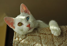 Turkish Van cat. The Turkish Van is nicknamed the `swimming cat` for his love of water. This is a smart, active, loving cat with a silky, medium-length coat that Stock Images