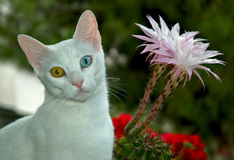 Turkish Van cat. The Turkish Van is nicknamed the `swimming cat` for his love of water. This is a smart, active, loving cat with a silky, medium-length coat that Stock Photography
