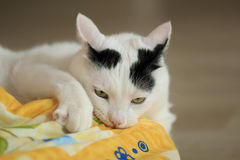 Turkish Van Cat playing. With yellow blanket on the floor. Cute expression with one eye closed and mouth opened. Play time stock photography
