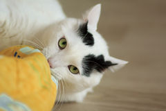 Turkish Van Cat playing Royalty Free Stock Photos