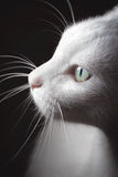 Turkish Van Cat. Pure white Turkish Van cat looking to my speedlight stock photo