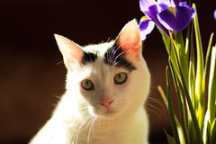 Turkish Van Cat. Sits in the sun bows near the lilac iris flower Stock Photos