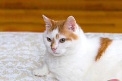 Turkish Van type cat resting Royalty Free Stock Images