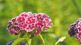 Turkisk nejlika som är rödbrun på en naturlig bakgrund röda härliga blommor stock video