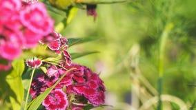 Turkisk nejlika som är rödbrun på en naturlig bakgrund röda härliga blommor arkivfilmer
