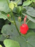 Turklockväxt Royaltyfria Foton