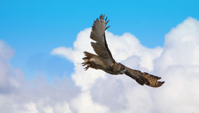 Turkmenian Adler-Eule Lizenzfreies Stockfoto