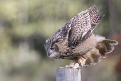 Turkmenian Adler-Eule Lizenzfreies Stockbild