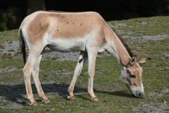 Turkmenian kulan (hemionus Equus kulan) Στοκ εικόνα με δικαίωμα ελεύθερης χρήσης