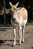 Turkmenian wilder Esel lizenzfreies stockfoto