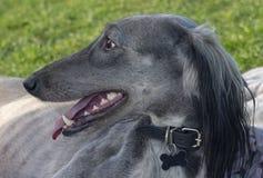 Turkmensk hund som vilar p? gr?set Efter ett l?ngt - k?rningen, vinthunden l?gger ner f?r att vila hennes mun ?r ?ppen, och skarp royaltyfri fotografi