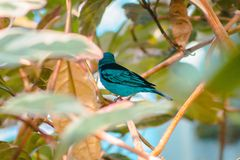 Turkoois tanager in een boom wordt neergestreken die stock fotografie