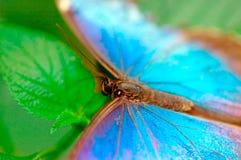 Turkooise vlinder Royalty-vrije Stock Foto's