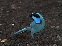 Turkooisgaai, Turquoise Jay, Cyanolyca turcosa stock photos