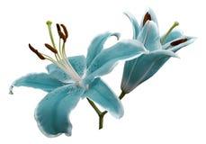 Turkos blommar liljan på vit isolerad bakgrund med den snabba banan inga skuggor closeup Arkivfoton