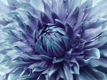 Turkos-violett blomma för dahlia Makro Brokig stor blomma Bakgrund från en blomma Arkivfoton