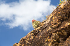 Turks Cap cactus in rocks on St Thomas Royalty Free Stock Image