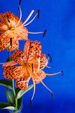 Turks Cap Lily Flowers on Blue Textured Background Royalty Free Stock Images