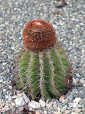 Turks head cactus, Providenciales Royalty Free Stock Photos