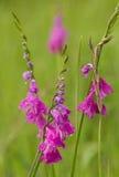Turks Marsh Gladiolus - Gladiolenimbricatus Stock Fotografie