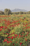 Turks papavergebied en olijfbosje stock afbeeldingen