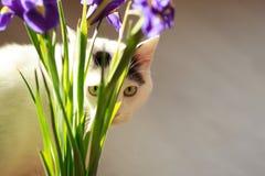 Turks Van Cat Stock Foto