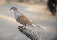 Turkse duif die op boomtak plaatsen Stock Fotografie