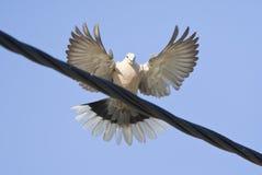 Turkse Tortel, Eurasian Collared Dove, Streptopelia decaocto royalty free stock photography