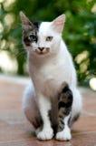 Turkse Van Cat Royalty-vrije Stock Afbeeldingen