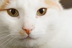 Turkse Van cat riep ook de kat van Anatoli Royalty-vrije Stock Fotografie
