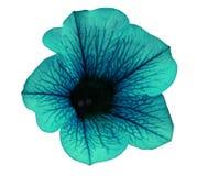Turkusowa kwiat petunia na białym odosobnionym tle z ścinek ścieżką żadny cienie zbliżenie Dla projekta, tekstura, granicy, fra Obrazy Stock