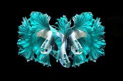 Turkusowego smoka boju siamese ryba, betta ryba odizolowywająca na b Obrazy Royalty Free