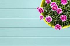 Turkusowy drewniany deski tło z Odgórnym widokiem purpurowy mini carnationin kwiatu garnek Obrazy Royalty Free